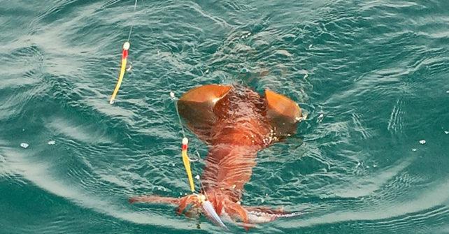 La pêche au Calamar