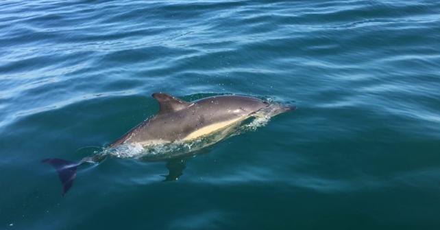 Des dauphins en baie de Morlaix !
